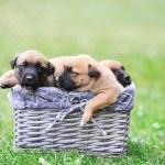Puppies of belgian shepherd malinois — Stock Photo #50791379