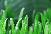Gotas de hierba verde con agua — Foto de Stock