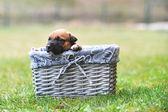 Puppies of belgian shepherd malinois — Stock Photo
