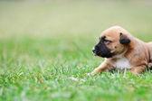 Puppy of belgian shepherd malinois — Stock Photo