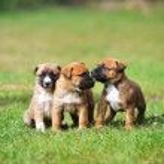 Puppies belgian shepherd malinois — Stock Photo #51284023