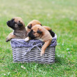 Puppies belgian shepherd malinois — Stock Photo #51284317
