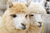 Fluffy alpacas — Stock Photo