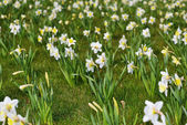 White daffodils — Stock Photo