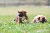 Puppies belgian shepherd — Stock Photo