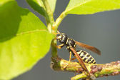 Single paper wasp sits on branch with green leaves close up — Stock Photo