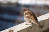 Single Brown fluffy sparrow sits on a beam — Stock Photo