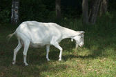 White goat grazing on nature — Stock Photo