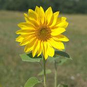 Wild sunflower blossom closeup — Stock Photo