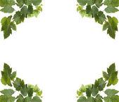 Dört köşe beyaz zemin üzerine yeşil üzüm yaprakları — Stok fotoğraf