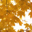 Many autumn yellow maple leaves isolated on white — Stock Photo