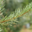 Green pine branch with water drops closeup — Stock Photo