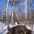 Stock Photo: Fallen birch tree in winter forest