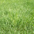 Stock Photo: Landscape with green grass closeup as background