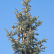 Green fir-tree top with cones isolated vertical — Stock Photo