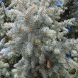 Stock Photo: Blue fir-tree branch with cones in the forest closeup