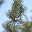 Green pine top with many needles closeup — Stock Photo