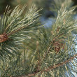 Green pine branch with many cones closeup — Stok fotoğraf