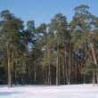 High winter pine deep forest under blue cloudless sky — Stock Photo