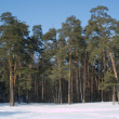 Stock Photo: High winter pine deep forest under blue cloudless sky