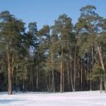 High winter pine deep forest under blue cloudless sky — Stock Photo