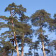 High pines under blue cloudless sky — Stock Photo