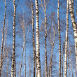 Forest landscape with many long white birches over blue sky — Stock Photo