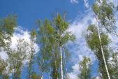 同在蓝天,白云长桦树夏天风景 — 图库照片