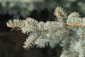 Fluffy fir branch in the forest closeup — Stock Photo
