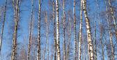 Lesní krajina s mnoha dlouhé bílé břízy nad modrá obloha — Stock fotografie
