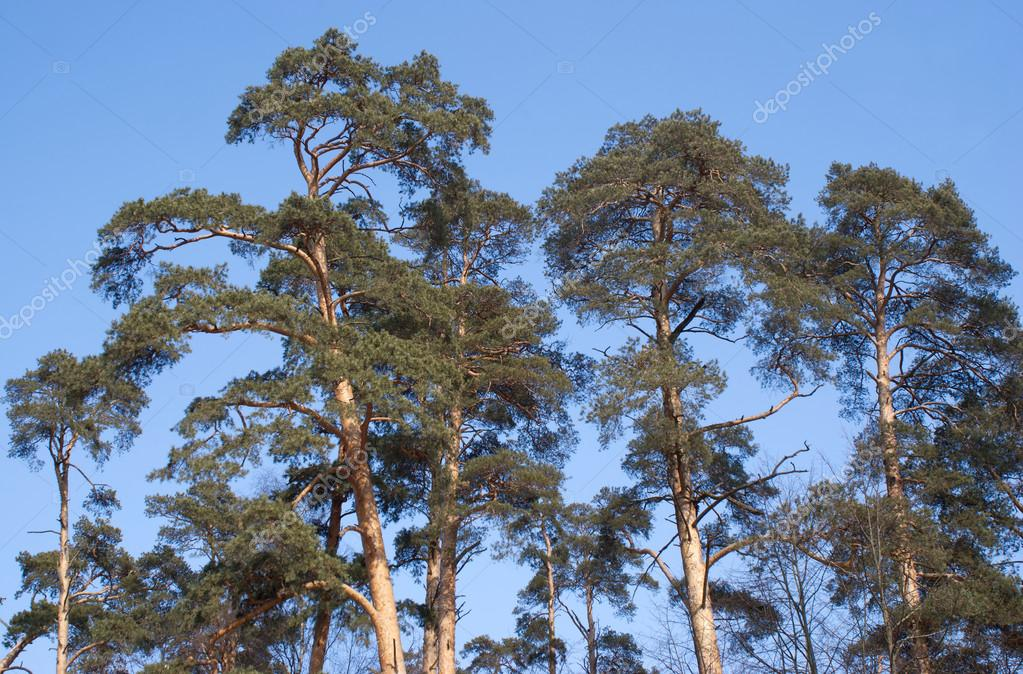 High pines under blue cloudless sky — Stock Photo #12716582