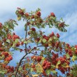 Rowan tree with seeds over blue sky — Stock Photo