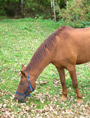 Brown adult horse eat grass — Stockfoto