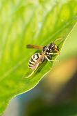 Wild european paper wasp sits on leaf macro — Stock Photo