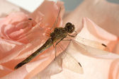 Dragonfly on flower closeup — Stock Photo