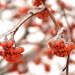 Frozen tree branch with rowan berries - Stock Photo