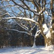 Oak trees in winter wood — Stock Photo