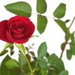 Red rose on branch with many green leaves isolated — Stock Photo #24402537
