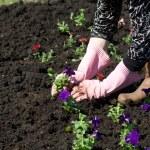 Gardener planting flowers — Stock Photo #25092565