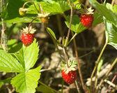 Tasty raspberries grows closeup — Stock Photo