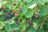 Shadberry fruits on green branches closeup — Stock Photo