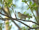 Wren bird sings on a branch — Stock Photo