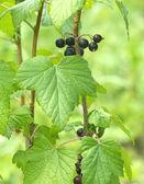 ягоды спелой черной смородины растет крупным планом — Стоковое фото
