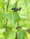 Ripe black currant berries grows closeup — 图库照片