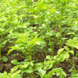 Potato bushes grows in garden close up — Stock Photo #30543893