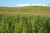 Corn field and hill under blue summer sky with clouds — Stock Photo