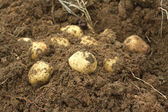 Some potatoes in ground closeup — Stock Photo