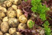 Insalata rossa, verde prezzemolo e patate giovane da vicino — Foto Stock