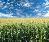 Corn field under summer sky with clouds — Stock Photo
