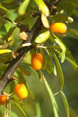 Branch of sea-buckthorn with ripe berries close up — Stock Photo
